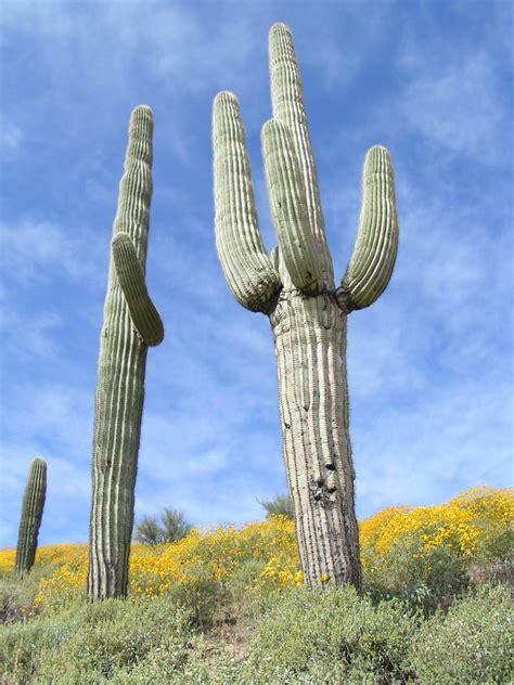 carnegiea gigantea saguaro horticulture   desert