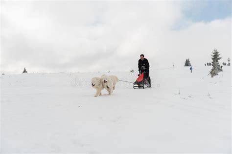 Samoyed Dogs Stock Image Image Of Team Sled Action