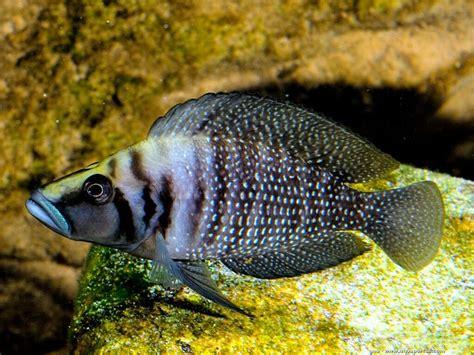 poisson lac tanganyika aquarium altolrologus calvus poisson chauve 233 levage