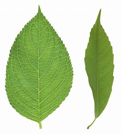 Leaf Leaves Tree Apple Clipart Transparent Leave