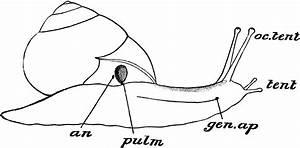 Snail Parts
