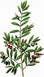 Free Botanical Olives Clip Art - Gorgeous! - The Graphics ...