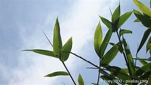 Bambus Zurückschneiden Frühjahr : bambus pflanzen urlaubsfeeling im garten garten hausxxl garten hausxxl ~ Whattoseeinmadrid.com Haus und Dekorationen