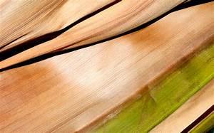 Kentia Palme Braune Blätter : kentia palme bekommt braune bl tter woran liegt 39 s ~ Watch28wear.com Haus und Dekorationen