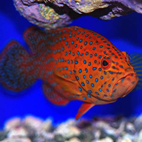 fish grouper miscellaneous spotted india soon coming aquarium line
