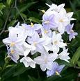Solanum laxum - Wikipedia, la enciclopedia libre
