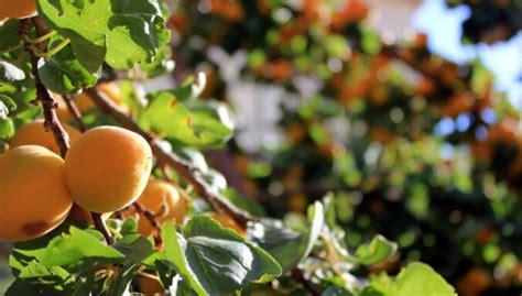Aprikožu audzēšana un kopšana