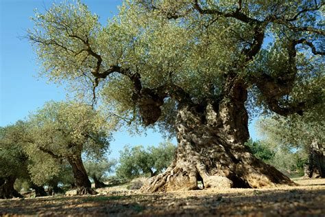 giving new to ancient olive trees in spain