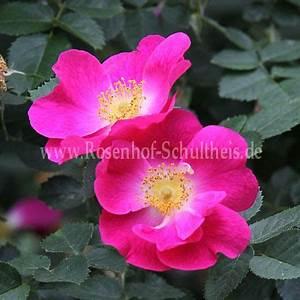 Rosen Düngen Im Frühjahr : amy robsart rosen online kaufen im rosenhof schultheis rosen online kaufen im rosenhof ~ Orissabook.com Haus und Dekorationen