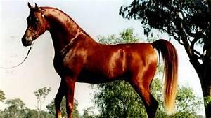 Arabian Horse  Colors