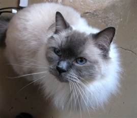 best breed of cat top 10 most beautiful cat breeds