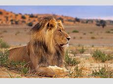 Kalahari Löwe Forum für Naturfotografen