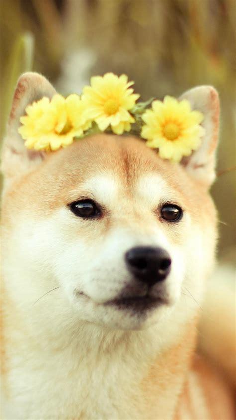 flowers animals dogs shiba inu wallpaper