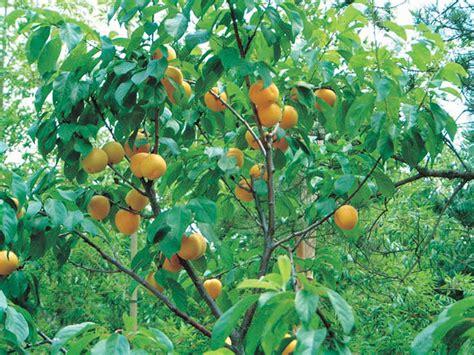 Manchurian Apricot - T&T Seeds