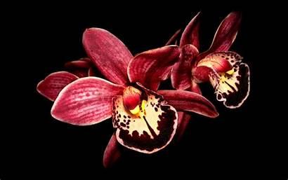 Orchid Wallpapers Flowers Desktop Flower Background Orchids