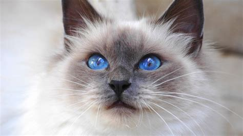 birman cat birman cat looks personality and how to care for your