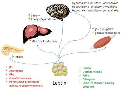 cortisol afvallen