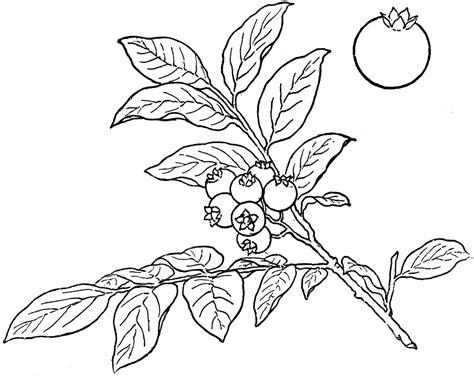 raspberry bush clipart black and white bush blueberry clipart etc