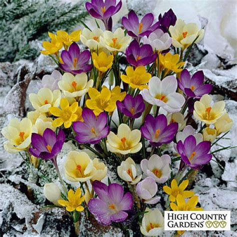 snow crocus bulb mix crocus snow crocus bulb mix low