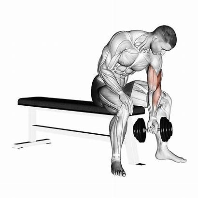 Concentration Curl Dumbbell Biceps Workout Exercise Exercises
