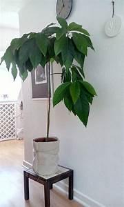 Avocado Baum Pflege : mein selbst gezogener avocadobaum home avocado baum balkon pflanzen und pflanzen ~ Orissabook.com Haus und Dekorationen