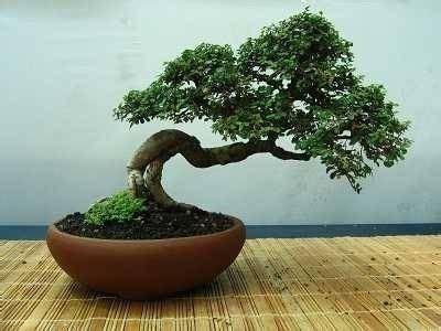 vasi per bonsai grandi vasi per bonsai bonsai