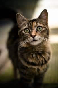 brown tabby cat pretty brown patch tabby cat cuties tabby