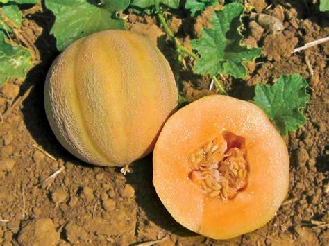 minnesota midget melon seeds urban farmer seeds