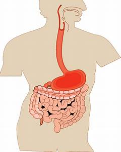 Digestive Organs Medical Diagram  Medical  Anatomy