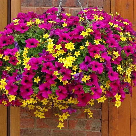 hanging basket flowers petunia and bidens chagne and gold cocktail mix patio plants van meuwen plants