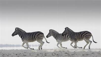 Zebra Wallpapers 1080 1920