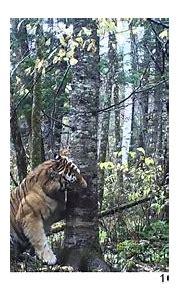 Wild Siberian Tiger in Russian Far East - YouTube