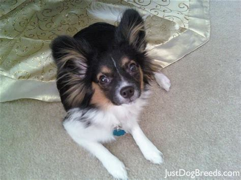 Dogs That Dont Shed Papillon by Leo Papillon Breeds