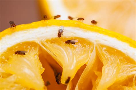 moucheron cuisine solution fruit fly facts and information terro
