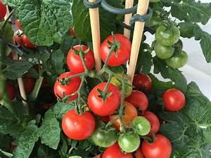Dünger Für Tomaten : tomaten d ngen darauf m ssen sie achten garten mix ~ Watch28wear.com Haus und Dekorationen