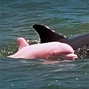 Bottle nose dolphin and pink dolphins - ThingLink