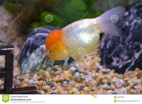 poisson d aquarium oranda photo stock image 60626899