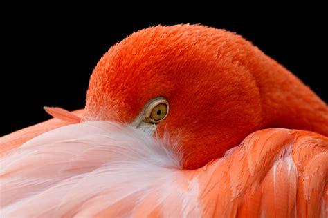 wallpaper american flamingo hd  animals