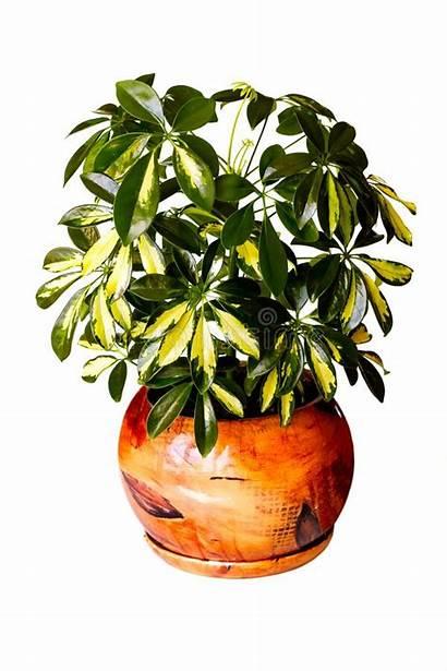 Plant Indoor Arboricola Decorative Interior