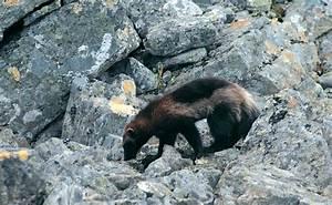 Status of wolverines in Europe  Wild