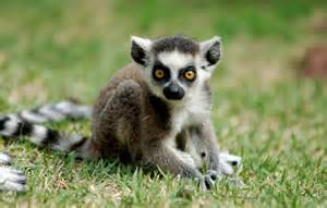 Baby Ring-tailed Lemurs