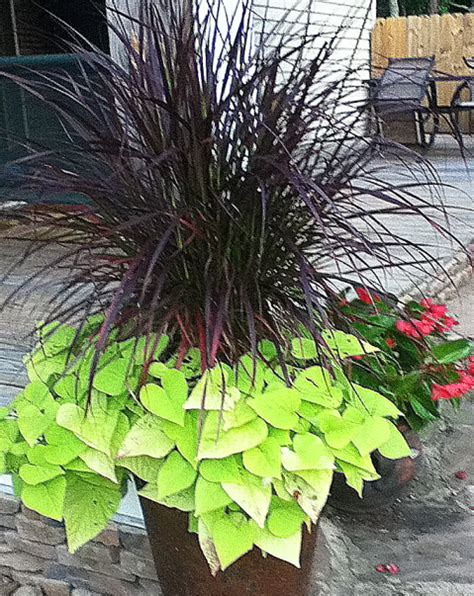 grasses for containers mixed container plantings for summer color part 3 of a series johntheplantman s stories