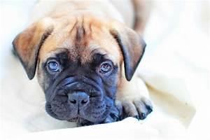 Bullmastiff puppy for sale | Chippenham, Wiltshire ...