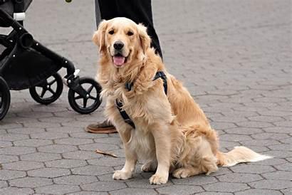 Golden Retriever Dog Dogs Refusing Walk Pretty