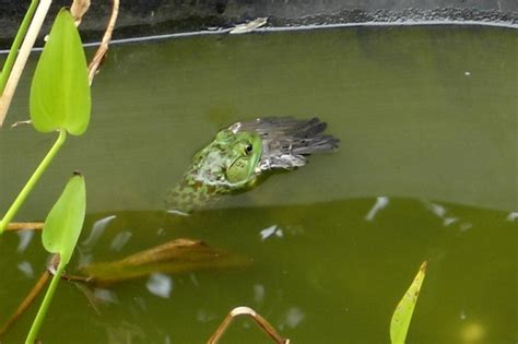 frog eats bird picture ebaums world