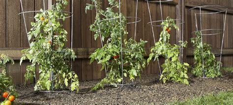 select and grow tomato plants