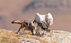 jackal takes   vulture  wins incredible moment majestic bird  prey  scared