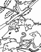 Opossum Coloring Getcolorings Pages sketch template