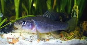 Jonah U0026 39 S Aquarium    Aphredoderus Sayanus  Pirate Perch