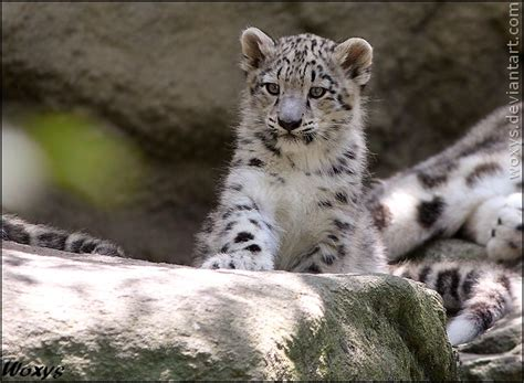 baby snow leopard wallpaper gallery